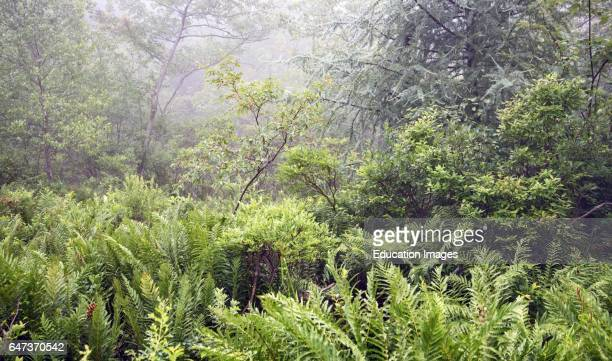 Misty Afternoon in an Eastern Forest Thicket Pocono Mountains Pennsylvania