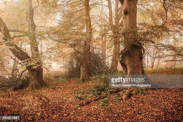 misty autumn beech tree wood - alyson fennell stock pictures, royalty-free photos & images