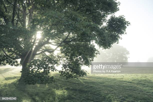 misty autumn morning in the english countryside - sycamore tree stock photos and pictures