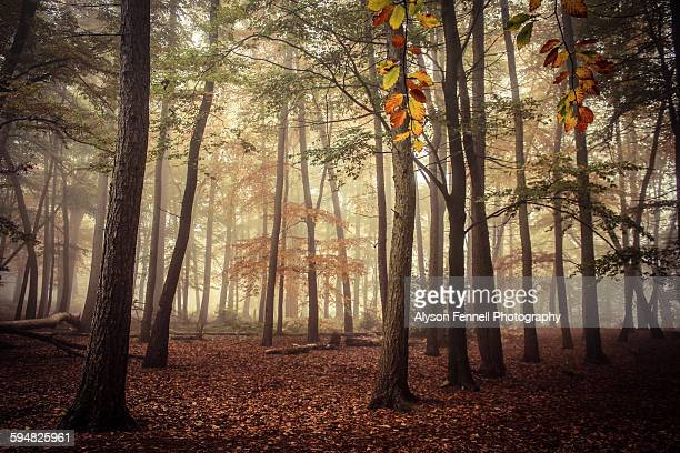 misty autumn trees - alyson fennell stock pictures, royalty-free photos & images