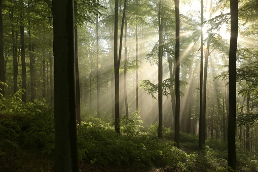 Misty Beech Forest At Dawn - gettyimageskorea