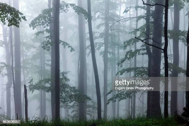 Balkan Mountains, Bulgaria - June 2010: Misty beech forest at spring time