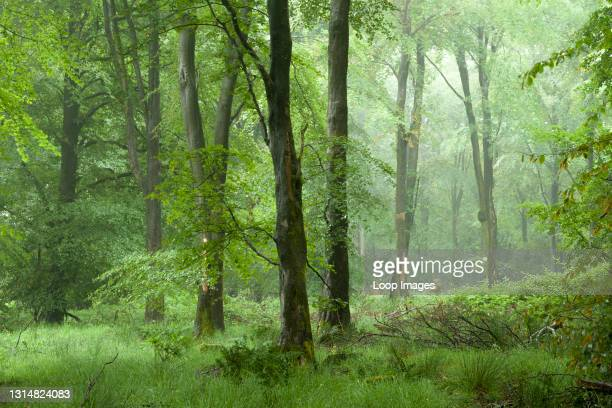 Misty beech woodland in summer at Stockhill Wood in the Mendip Hills Area of Outstanding Natural Beauty.