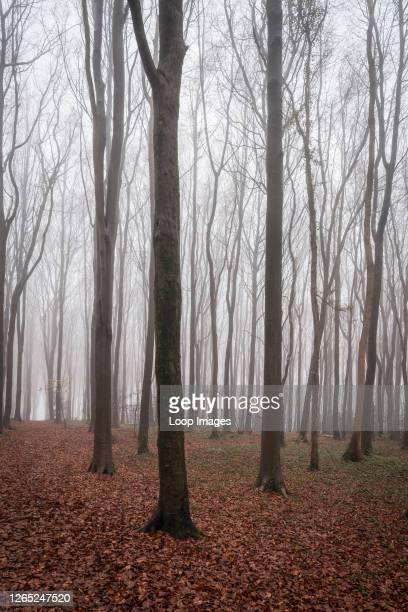 Misty beech woodland in winter