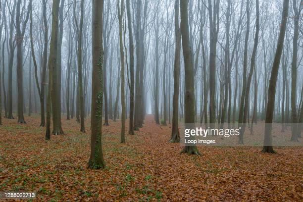 Misty beech woodland in winter.