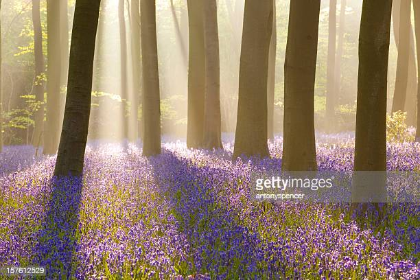 Misty bluebells