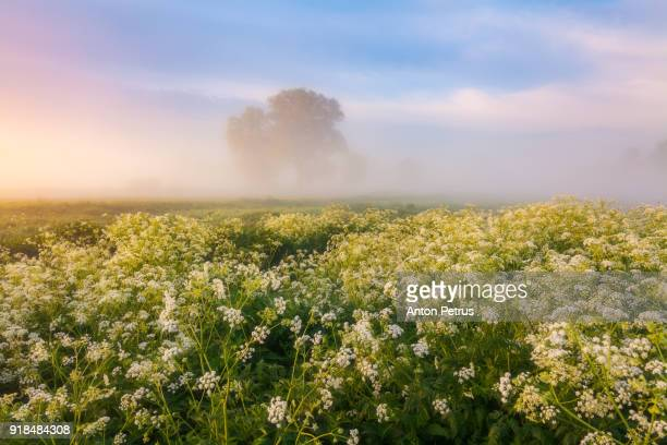 Misty dawn on a flower meadow in the spring