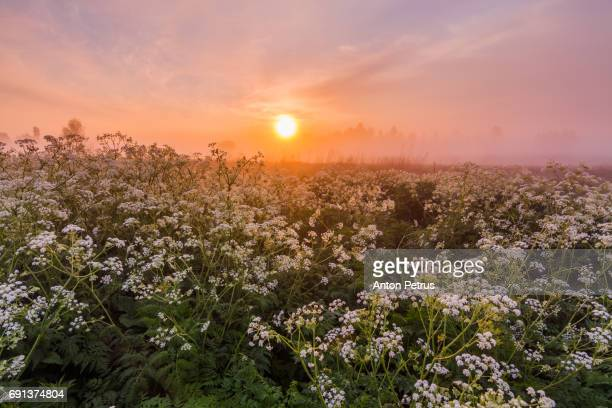 Misty dawn on the river with wild flowers