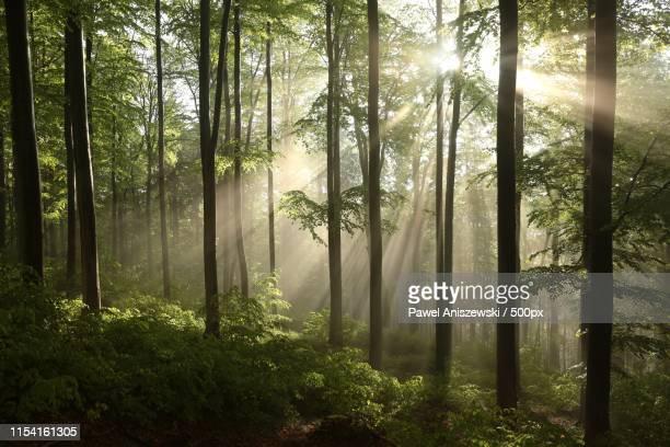 misty deciduous forest at dawn - erle stock-fotos und bilder