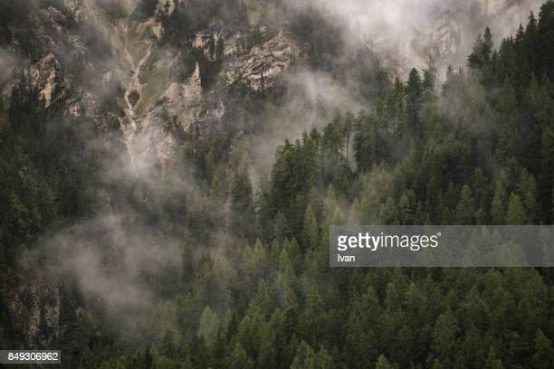 Misty fog in a spruce forest on a cold foggy day