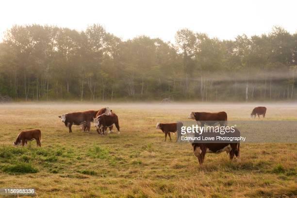 misty fog surrounds a cow pasture in western washington. - grazen stockfoto's en -beelden