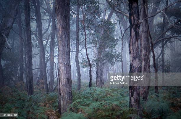 a misty, foggy morning in a forest - victoria australia stock pictures, royalty-free photos & images