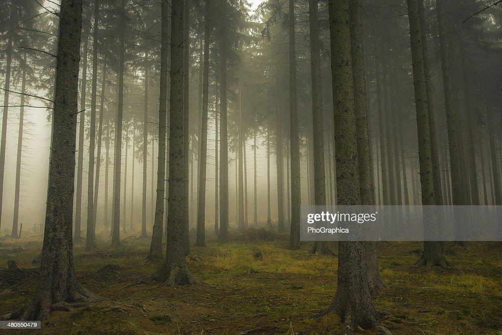 Misty Forrest : Foto de stock
