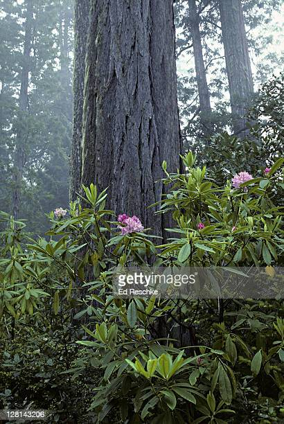 Misty landscape with Redwood trees and Rosebay Rhododendron, Rhododendron macrophyllum, Redwood National Park, California, USA