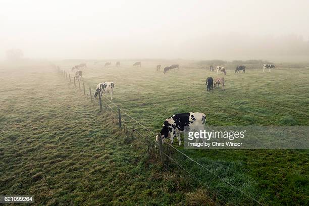 misty morning hear - friesian cattle stock pictures, royalty-free photos & images