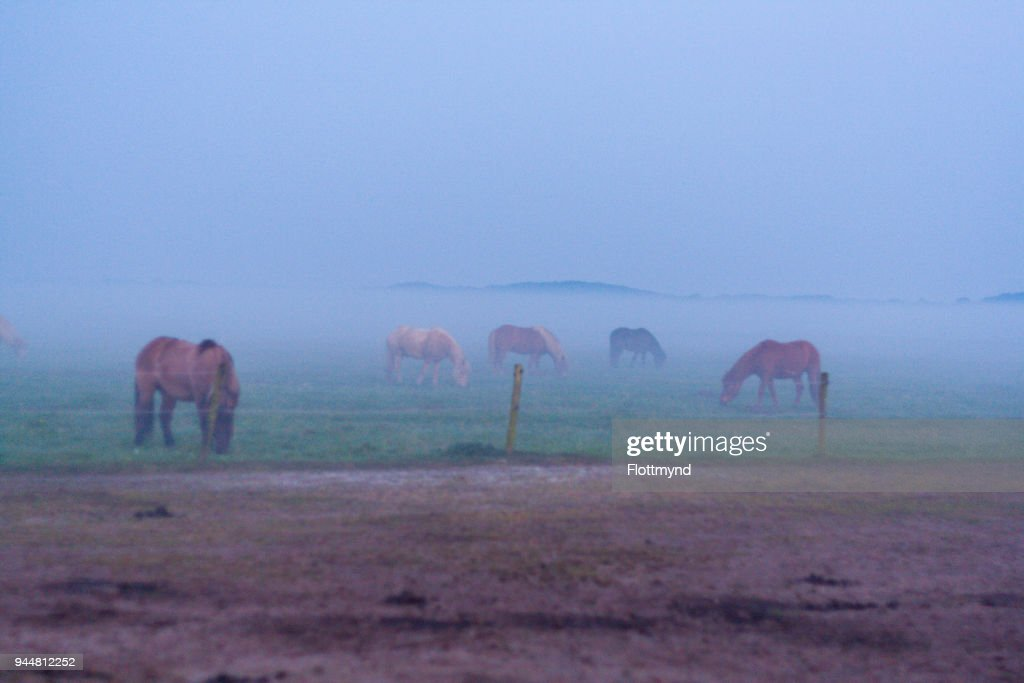 Misty morning sunrise with silhouette of horses : Stock Photo