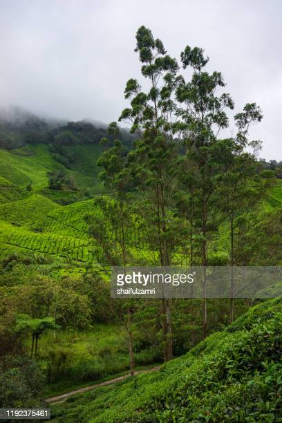 misty morning view at tea plantation cameron highlands, malaysia. - shaifulzamri fotografías e imágenes de stock