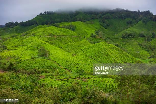 misty morning view at tea plantation cameron highlands, malaysia. - shaifulzamri stock pictures, royalty-free photos & images