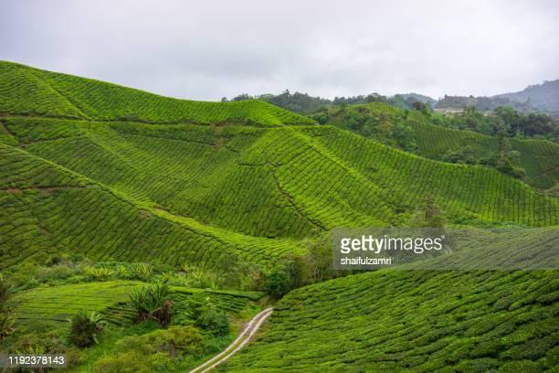 misty morning view at tea plantation cameron highlands, malaysia. - shaifulzamri bildbanksfoton och bilder