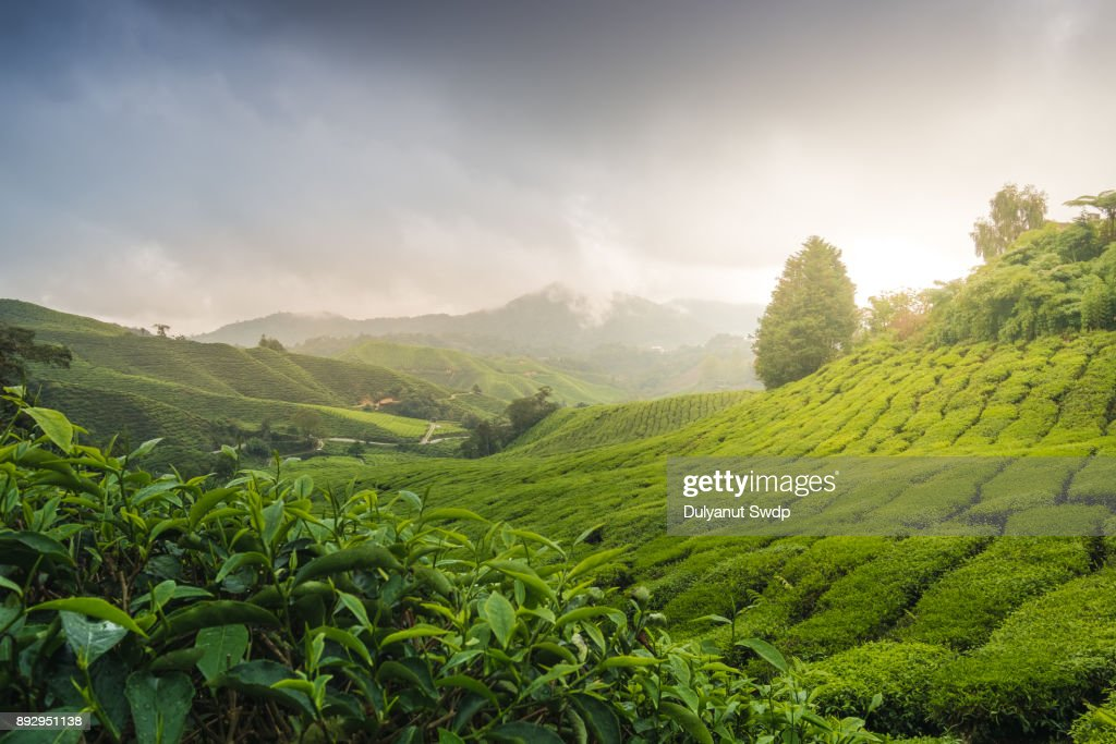 Misty morning with sunrise over tea plantation in Malaysia : Stock Photo