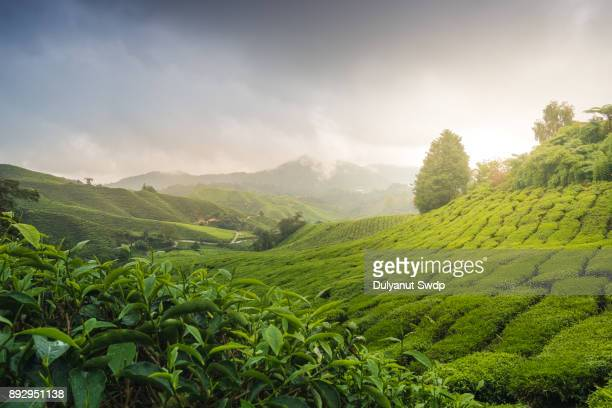 misty morning with sunrise over tea plantation in malaysia - gedeihend stock-fotos und bilder