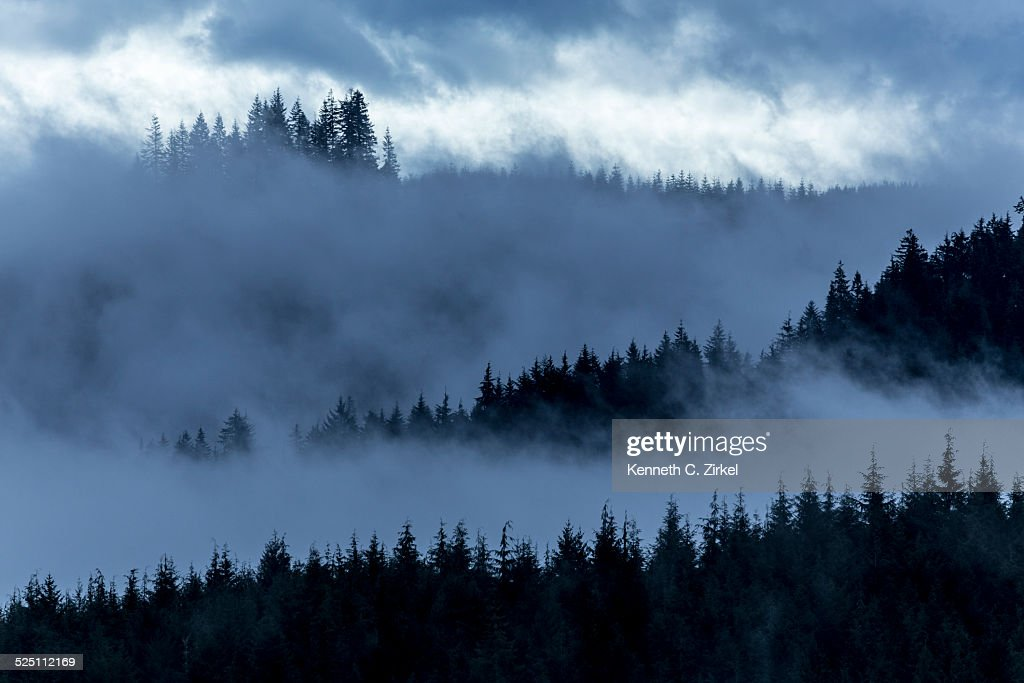 Misty Oregon pines : Stock Photo