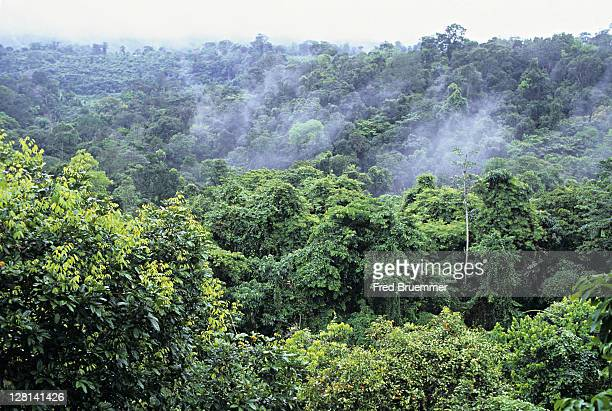 misty rainforest near village of cacao, french guiana - cacao tree stock photos and pictures
