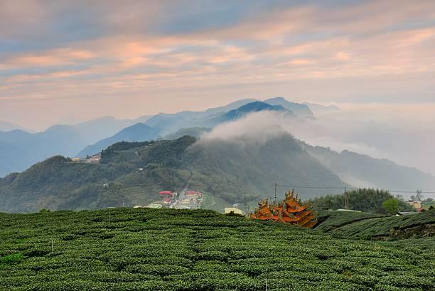 Misty scene at tea field