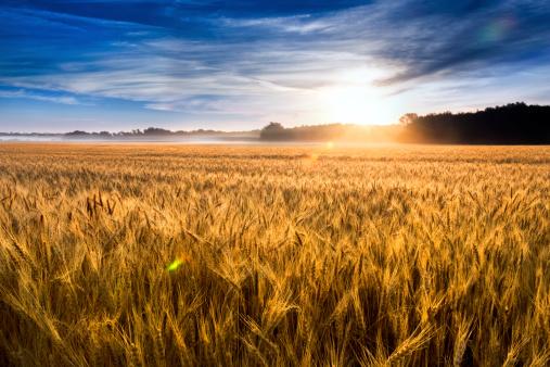 Misty sunrise over wheat field in Kansas 181068280