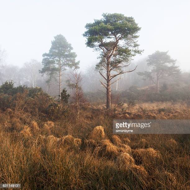 Misty swamp at Corfe, Dorset , England, UK