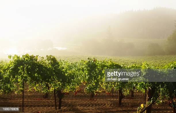 misty vineyard sunrise - sonoma county stock pictures, royalty-free photos & images