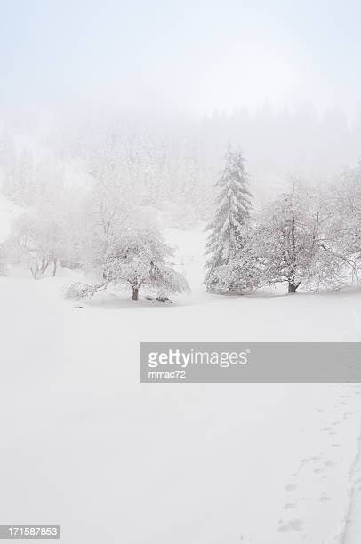 misty winter landscape - spruce tree stock pictures, royalty-free photos & images