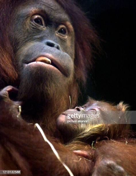 """Mit einer Haselnuss im Mund beschützt das Orang-Utan Weibchen """"Rosa"""" am 30.3.2000 im Frankfurter Zoo das am 9. März neugeborene Baby """"Galdikas""""...."""