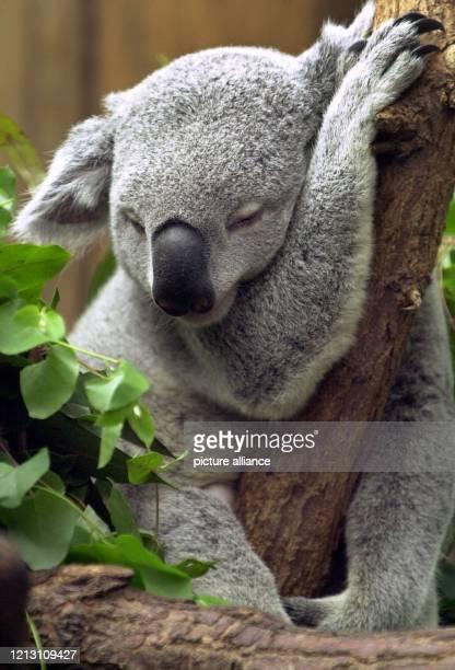 Mit geschlossenen Augen döst ein Koalabär am 27.3.2000 auf einem Baum im Duisburger Zoo. Die ohnehin nicht als besonders aktiv bekannten Tiere können...