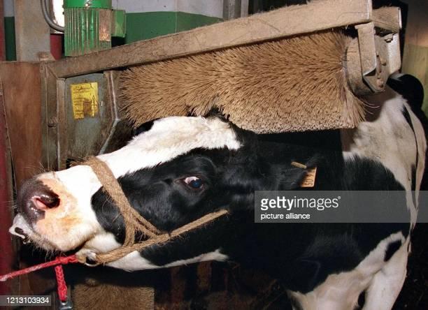 Mit sichtlichem Wohlbefinden steht die Milchkuh Tulpe am 512000 in der Kuhwaschanlage in ihrem Stall in Mildstedt Auf dem Lehr und Versuchsbetrieb...