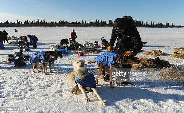Mitch Seavey works with his dog team after he arrived at the White Mountain Alaska checkpoint during the Iditarod Trail Sled Dog Race on Monday March...
