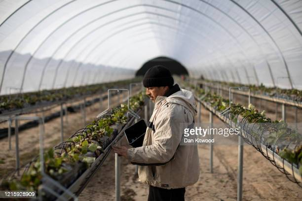 Mitko Christop from Bulgaria a seasonal worker tends to strawberries inside a Polytunnel ahead of the fruit picking season at a farm on March 31 2020...