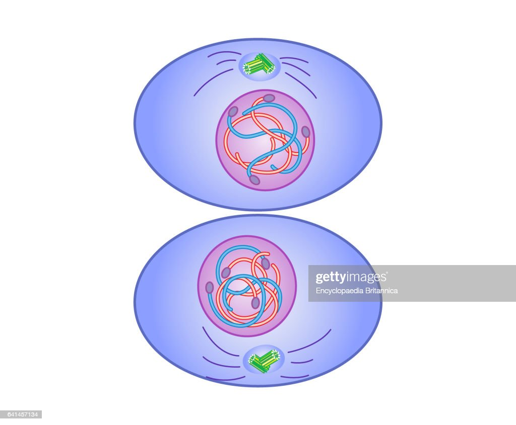 mitosis, cytokinesis (Science Pathways 2016.) Pictures | Getty Images