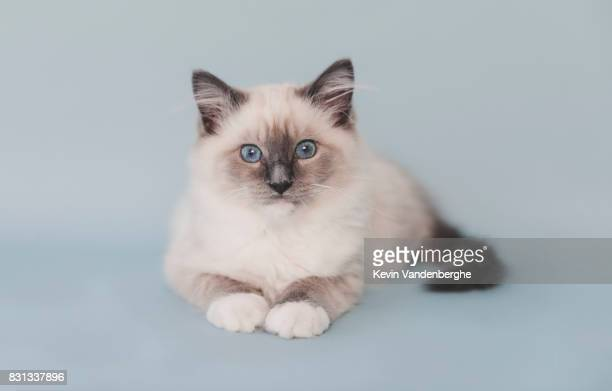 mitted blue ragdoll kitten studio photo - persian stock photos and pictures