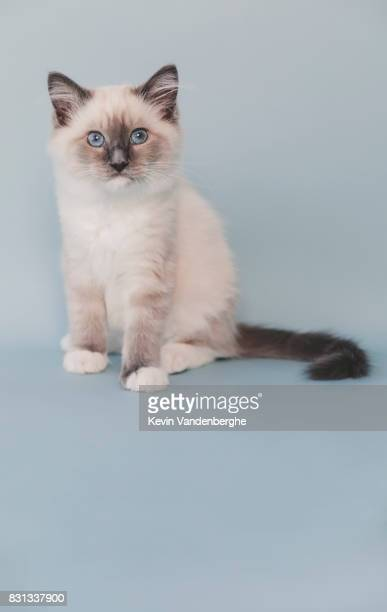 mitted blue ragdoll kitten studio photo