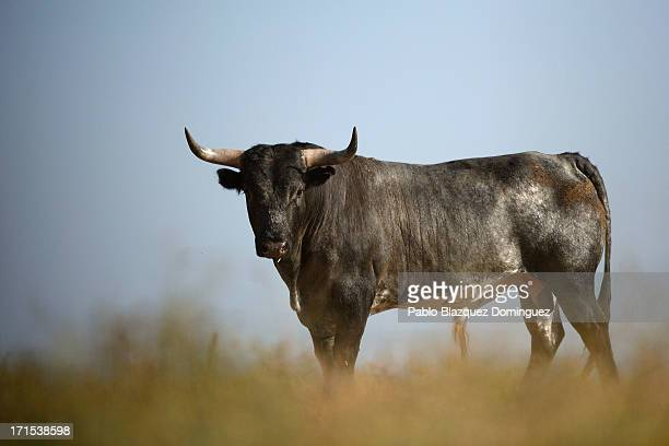 Miura fighting bull stands on the Zahariche ranch on June 26 2013 near Lora del Rio Spain Don Eduardo Miura Fernandez started the Miura's breed which...