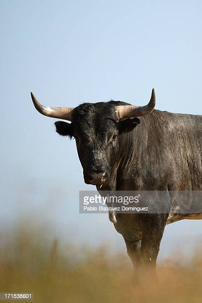 Miura fighting bull stands on the Zahariche ranch on June 26 2013 near Lora del Rio Spain Don Eduardo Miura Fernandez started the Miura's breed which...