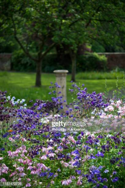 mix of aquilegia in an english garden in may - columbine flower stock pictures, royalty-free photos & images