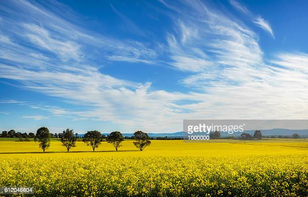 mix - oilseed rape stock pictures, royalty-free photos & images