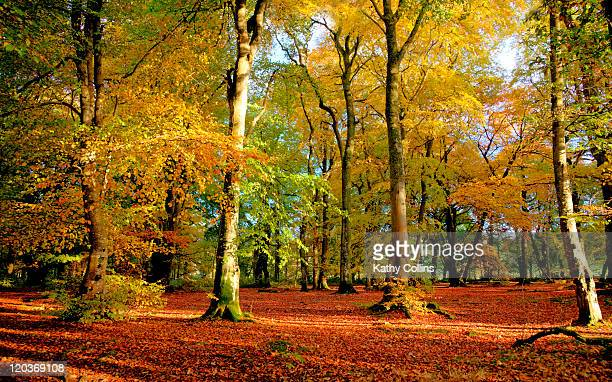 mixed autmn woodland - crieff stock pictures, royalty-free photos & images