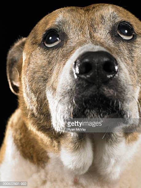 mixed breed dog looking up, close-up - オーストラリアンケルピー ストックフォトと画像