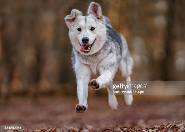 mixed breed dog portrait - ハスキー犬 ストックフォトと画像