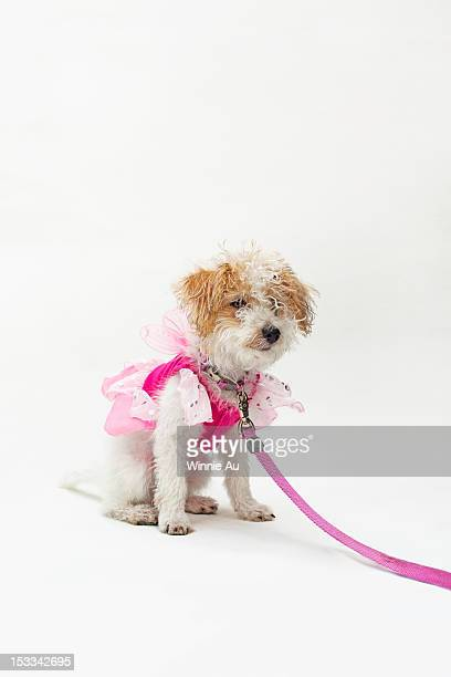 A mixed breed dog wearing a pink fairy costume