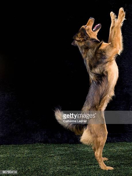 Mixed Breed German Shepherd Standing Upright