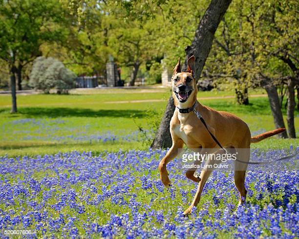 mixed breed great dane playing in a field of bluebonnets - lynn pleasant photos et images de collection